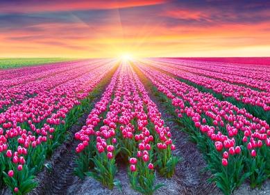 Holländische Tulpenblüte