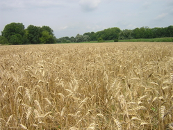 French wheat field