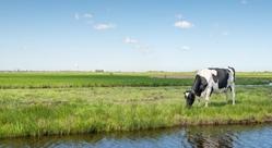 Flevoland cow