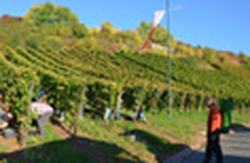 Vineyard, Nierstein