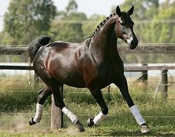 Hannoverian horse
