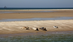 Seals on UNESCO haritage wadden-sea