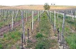 Lohr vinyard